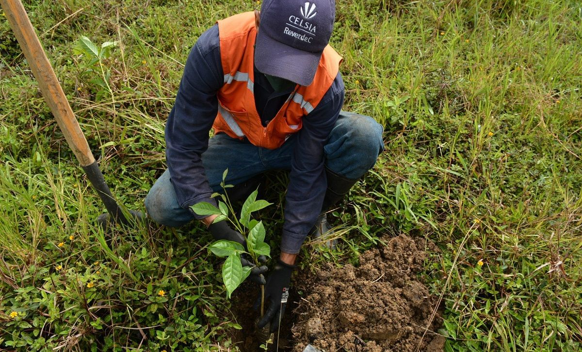 plantar-arboles-Celsia